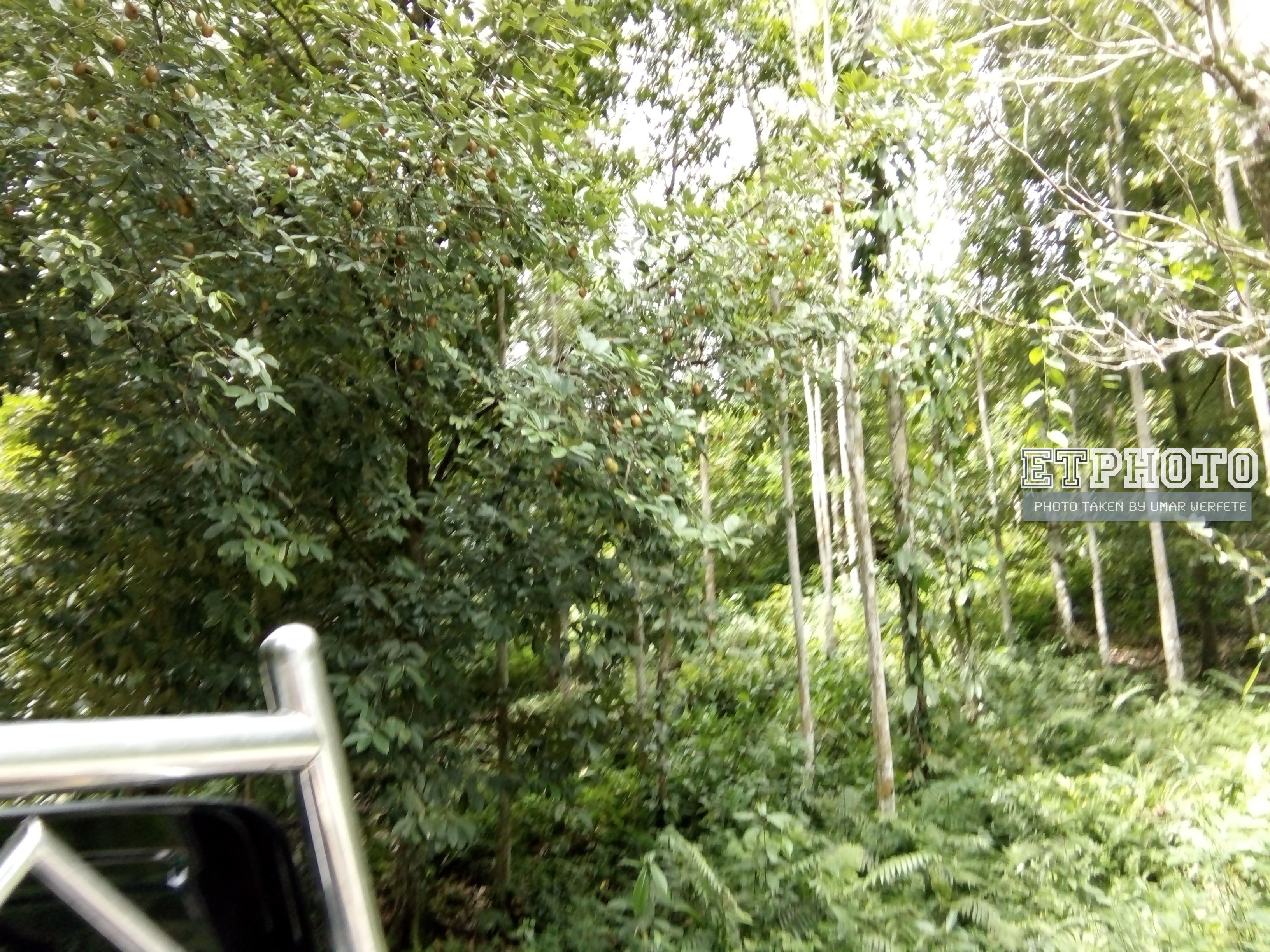 Pohon Pala di Tepi Jalan yang padat dengan buah yang hampir matang untuk dipanen